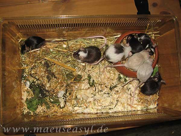 Mäuse in der Transportbox zur Vergesellschaftung