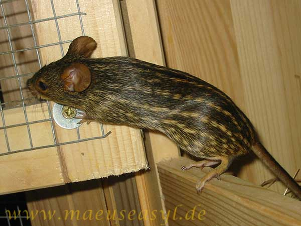 Tüpfelgrasmaus (Lemniscomys striatus)