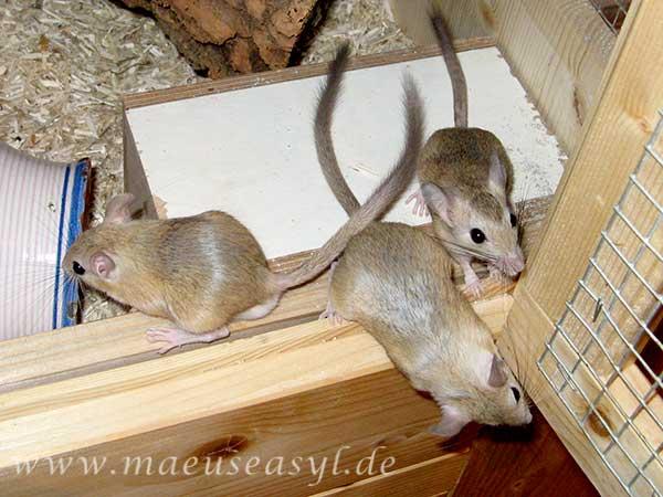 Trio Buschschwanz-Rennmäuse in der Voliere