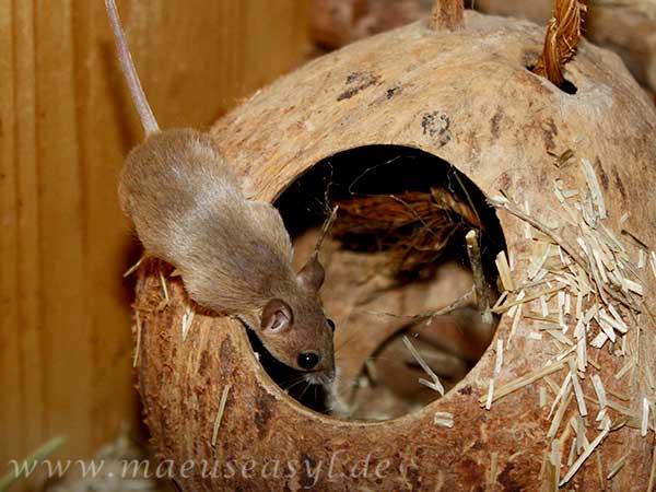 Knirpsmaus auf einer Kokosnuss