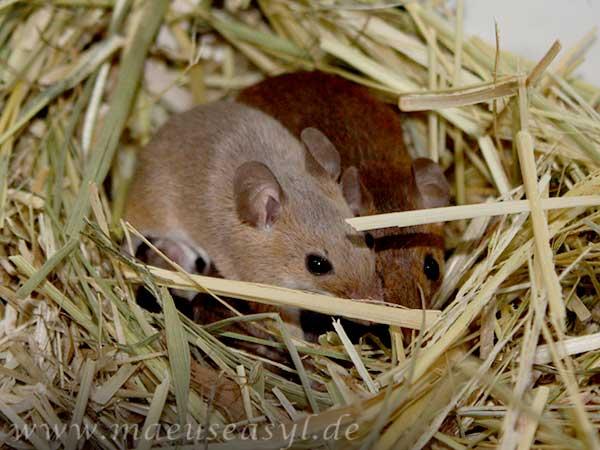 Knirpsmäuse im Nest