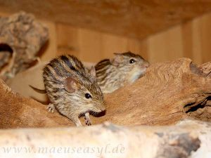 Streifengrasmäuse auf einer Wurzel