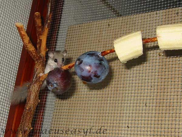 Zwergschläfer auf einem Ast mit Obst