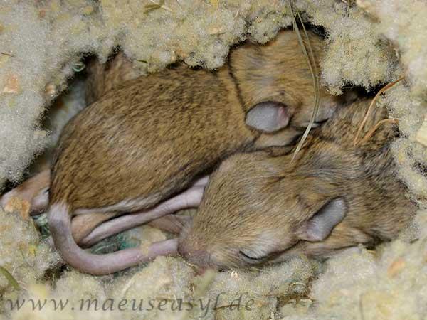 Große Wüstenspringmaus Jungtiere schlafen im Nest
