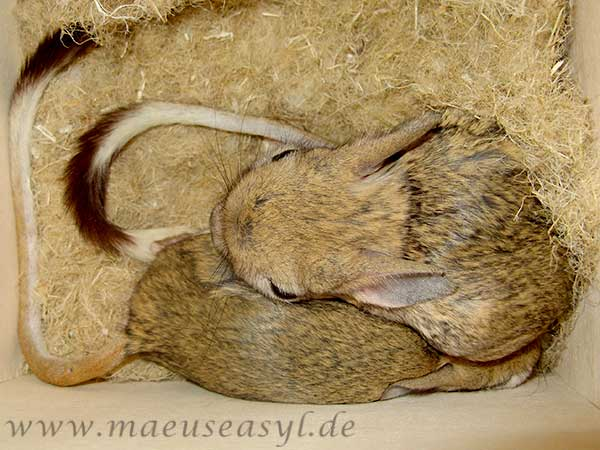 Große Wüstenspringmäuse im Nest