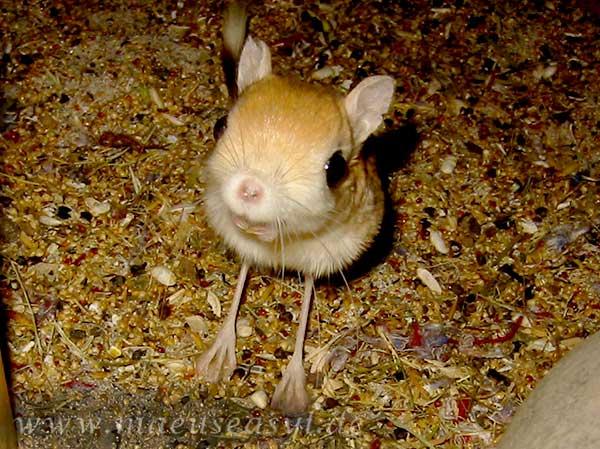 Kleine Wüstenspringmaus im Gehege