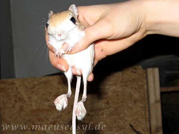 Kleine Wüstenspringmaus in der Hand
