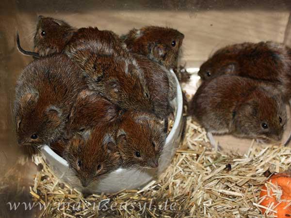 Gruppe Rötelmäue in einer Futterschüssel