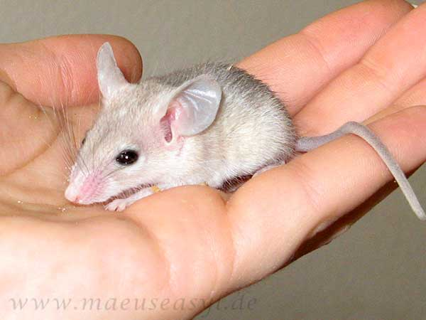 Junge Sinai-Stachelmaus