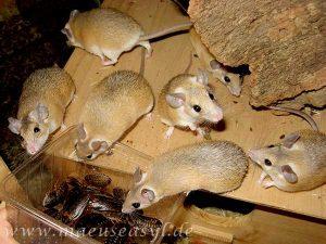 Gruppe Sinai-Stachelmäuse holt sich Schaben ab