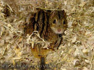 2 Striemengrasmäuse im Nest