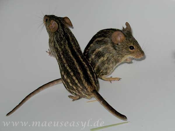 2 Tüpfelgrasmäuse in der Badewanne
