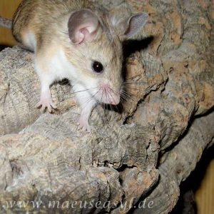 Mäusekärig einrichten - Kork