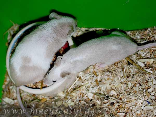 Oben eine kranke, unten eine gesunde Maus - der Unterschied in Fell und Ohrenstellung sind deutlich erkennbar