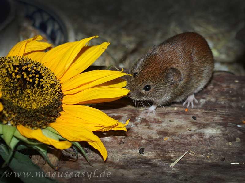 Rötelmaus mit Sonnenblume