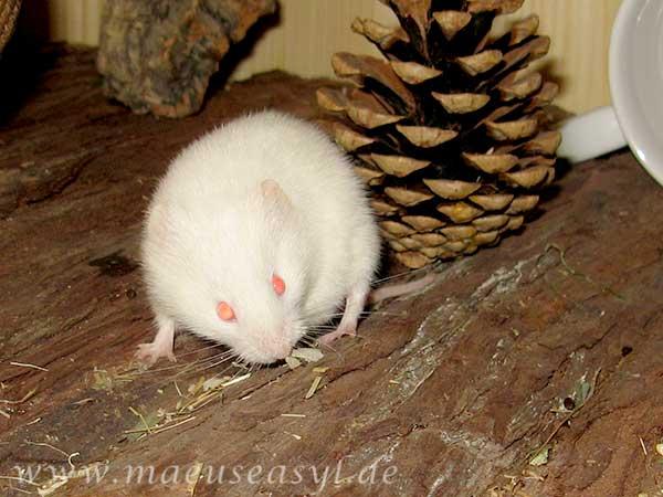 Albino-Rötelmaus