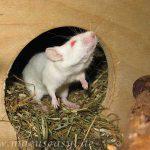 Albinomaus schnuppert aus dem Häuschen